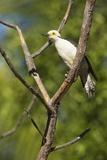 White Woodpecker Photographic Print by Joe McDonald