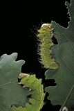 Antheraea Pernyi (Chinese Oak Silkmoth) - Caterpillars Feeding on Leaves Photographic Print by Paul Starosta