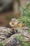 Eastern Chipmunk Fotografisk trykk av Gary Carter
