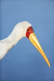 Yellowbilled Stork Portrait Photographic Print by Richard Du Toit