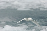 Snow Petrel Photographic Print by Joe McDonald