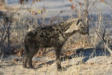 Spotted Hyaena Photographic Print by Sergio Pitamitz