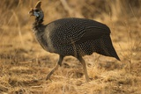 Helmeted Guineafowl Photographic Print by Joe McDonald
