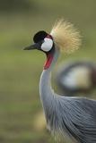 Grey-Crowned Crane Papier Photo par Mary Ann McDonald