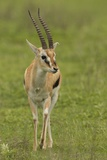 Thompson's Gazelle Fotografisk tryk af Joe McDonald