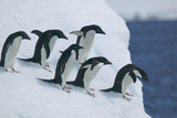 Adelie Penguins at Edge of Ice Photographic Print by  DLILLC