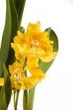 Oncidium George Mc Mahon Fortuna.Petal 1 Photographic Print by Fabio Petroni