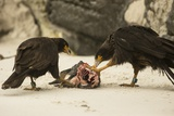 Striated Caracara Eating Carrion Photographic Print by Joe McDonald