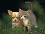 Chihuahua Puppy and Grey Kitten Photographic Print by  DLILLC