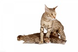 Ocicat Photographic Print by Fabio Petroni
