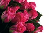 Roses Photographic Print by Fabio Petroni