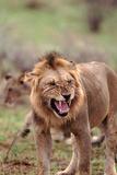 Growling African Lion - Masai Mara Nr, Kenya Photographic Print by  DLILLC