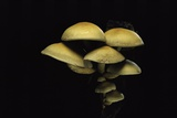 Hypholoma Fasciculare (Sulphur Tuft, Clustered Woodlover) Photographic Print by Paul Starosta