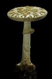 Amanita Citrina (False Death Cap, Citron Amanita) Photographic Print by Paul Starosta