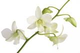 Dendrobium Emma White Photographic Print by Fabio Petroni