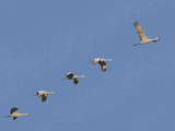 Sandhill Cranes Flying in Formation Photographic Print by  DLILLC