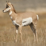 Pronghorn Young Buck Photographic Print by Joe McDonald