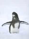 Molting Adelie Penguin Chick Photographic Print by  DLILLC