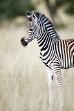 Zebra Baby Photographic Print by Richard Du Toit