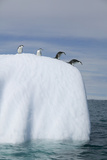 Penguins Peering over Iceberg Photographic Print by  DLILLC
