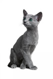 Blue Russia Cat Photographic Print by Fabio Petroni