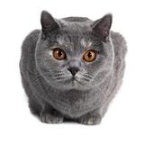 British Shorthair Cat Photographic Print by Fabio Petroni