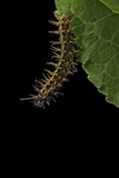 Argynnis Paphia (Silver-Washed Fritillary) - Caterpillar Photographic Print by Paul Starosta