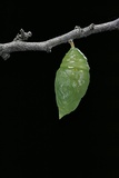 Morpho Peleides (Blue Morpho) - Caterpillar Pupating Photographic Print by Paul Starosta