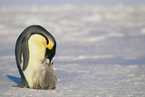 Adult Penguin Feeding Chick Photographic Print by  DLILLC
