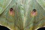 Actias Selene (Indian Moon Moth, Indian Luna Moth) - Wings Detail Reprodukcja zdjęcia autor Paul Starosta