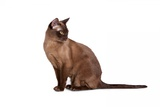 Burmese Cat Photographic Print by Fabio Petroni