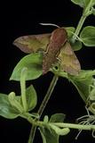 Deilephila Porcellus (Small Elephant Hawk Moth) Reprodukcja zdjęcia autor Paul Starosta