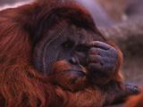 Adult Male Orangutan Thinking Photographic Print by  DLILLC
