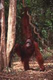 Orangutan Holding Vine near Rainforest Photographic Print by  DLILLC
