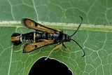 Bembecia Chrysidiformis (Fiery Clearwing Moth) Reprodukcja zdjęcia autor Paul Starosta