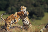 Bengal Tiger Cubs Play-Fighting Photographic Print by  DLILLC