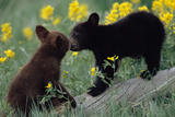 Black Bear Cubs Pecking Reproduction photographique par  DLILLC