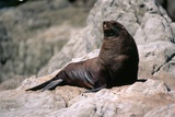 Seal on Rocks Photographic Print by Paul Souders