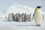 Group of Emperor Penguin Chicks Photographic Print by  DLILLC