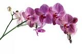 Phalaenopsis Ibrid4 Photographic Print by Fabio Petroni