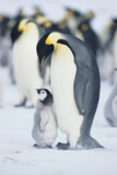 Adult Penguin with Chick Photographic Print by  DLILLC