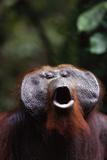 Orangutan Yawning Photographic Print by  DLILLC