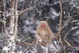 Japanese Macaque Perched on Tree Photographic Print by  DLILLC