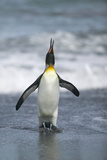 King Penguin Coming Ashore Photographic Print by  DLILLC