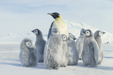 Adult Penguin Watching Chicks Photographic Print by  DLILLC