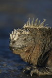 Marine Iguana at Water's Edge Photographic Print by  DLILLC