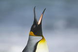 King Penguin Calling Out Photographic Print by  DLILLC