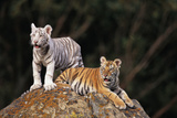 White Tiger and Orange Tiger on Rock Photographic Print by  DLILLC