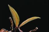 Attacus Atlas (Atlas Moth) - Antennae Reprodukcja zdjęcia autor Paul Starosta