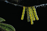 Araschnia Levana (Map Butterfly) - Eggs, One on Top of the Other, under Stinging Nettle Leaf Photographic Print by Paul Starosta
